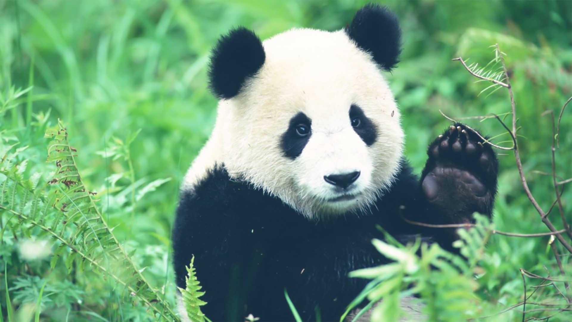 Il Panda, divenuto simbolo del WWF, è a rischio da molti anni