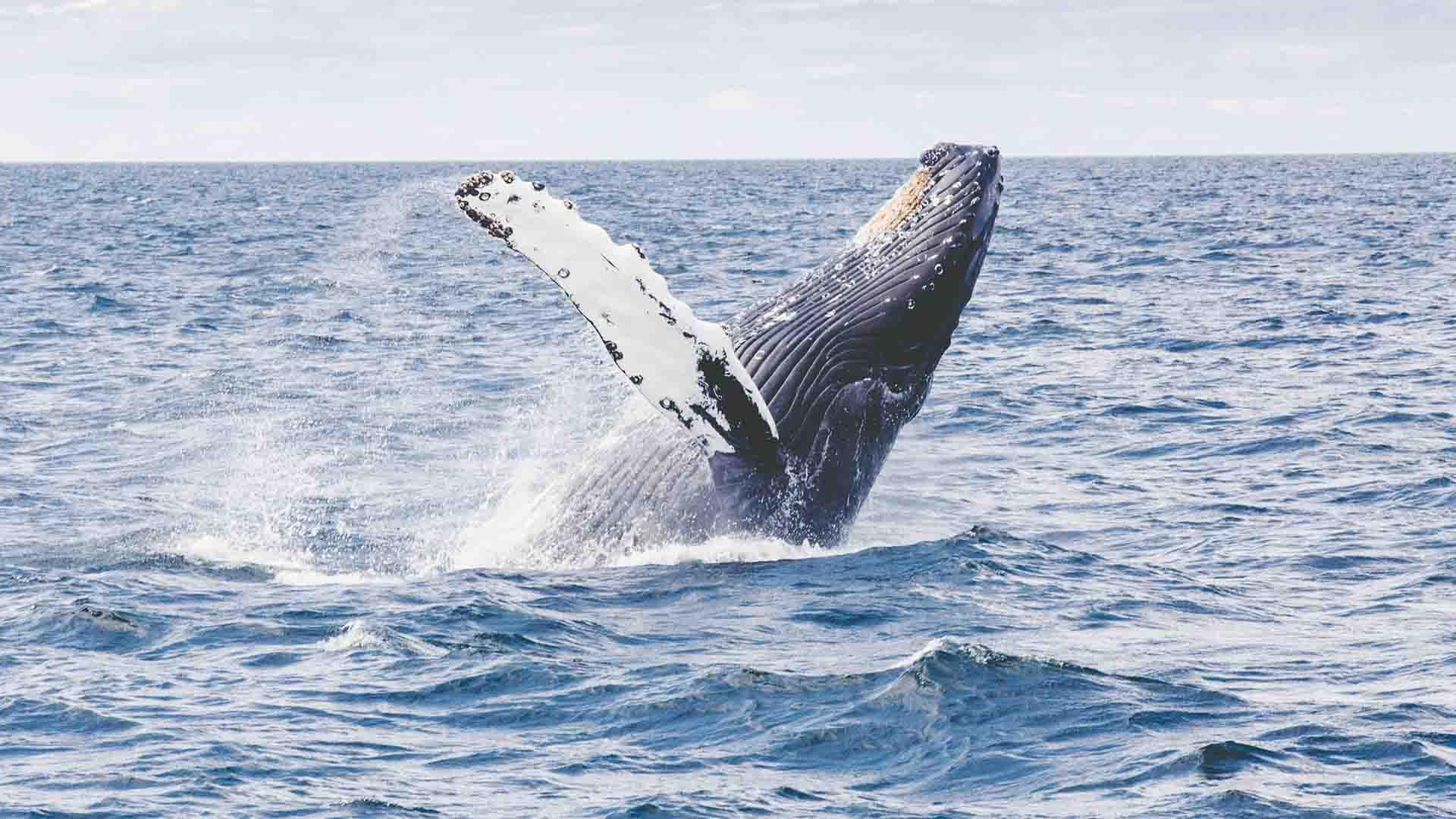 La caccia alla balena è stata un