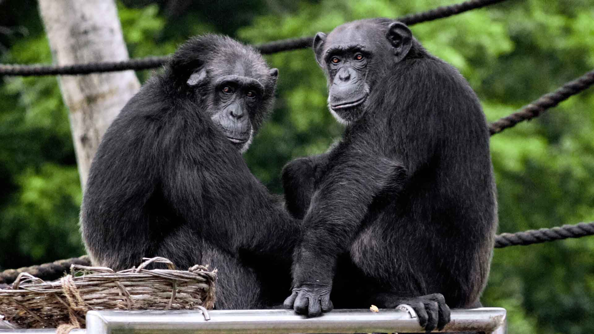 Gli scimpanzé sono i più vicini ai nostri antenati