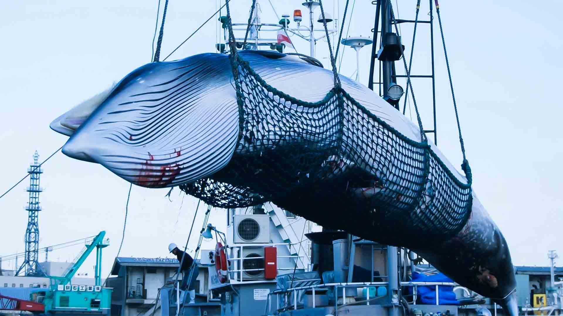Oggi il Giappone ha ripreso la caccia alle balene