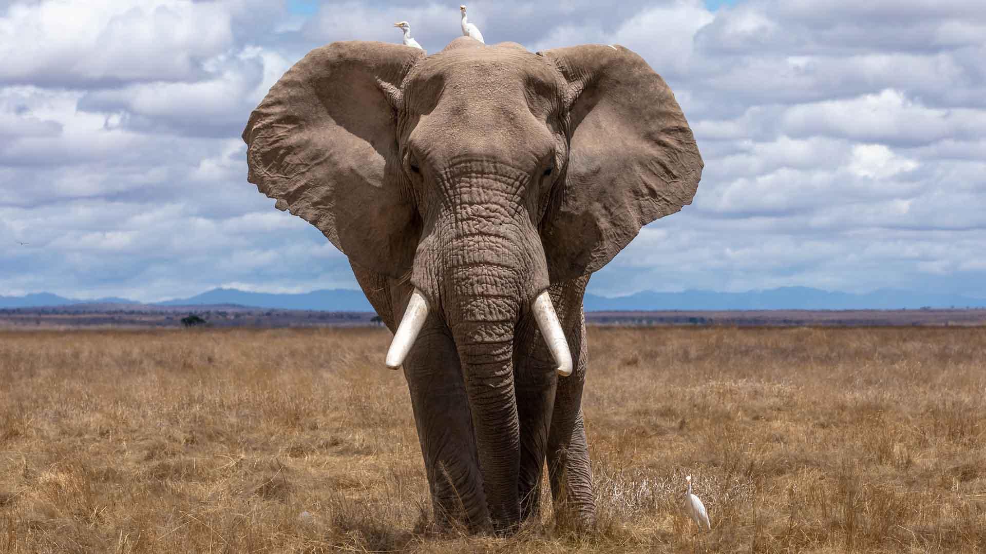 Gli elefanti sono prede dei bracconieri in Africa