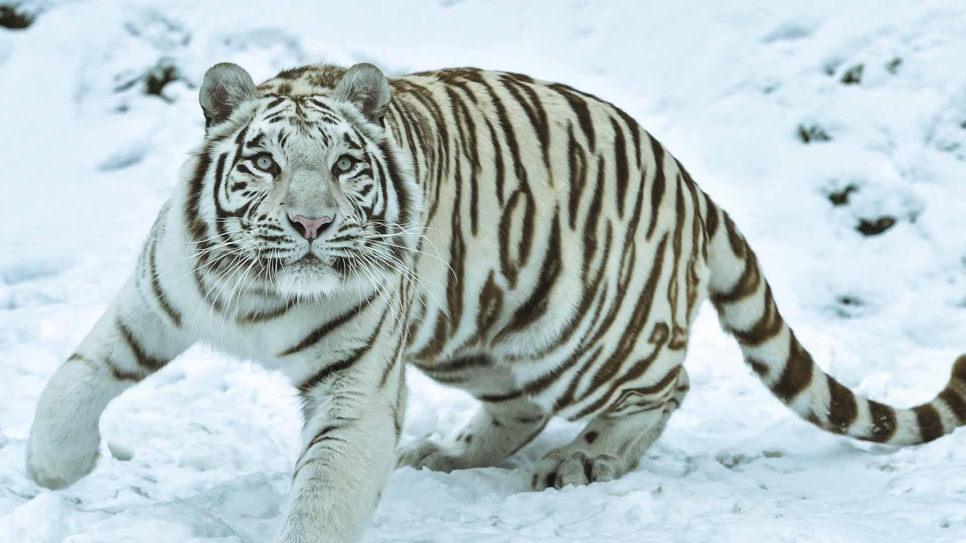 Come tutti i predatori alfa, la tigre è particolarmente esposta ai cambiamenti nella fauna di cui si ciba
