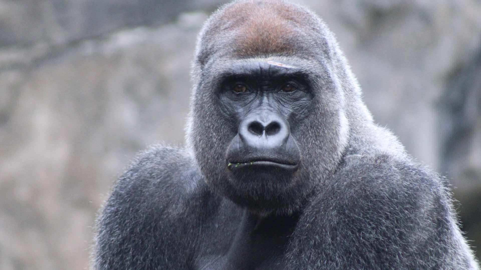 Il gorilla è a rischio estinzione