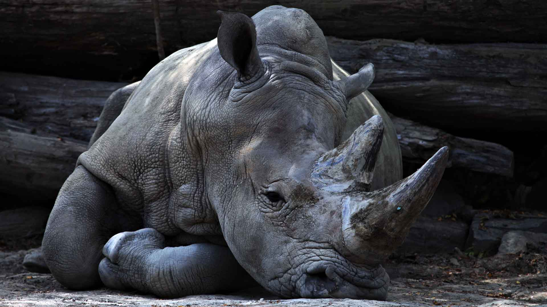 I rinoceronti sono cacciati per l