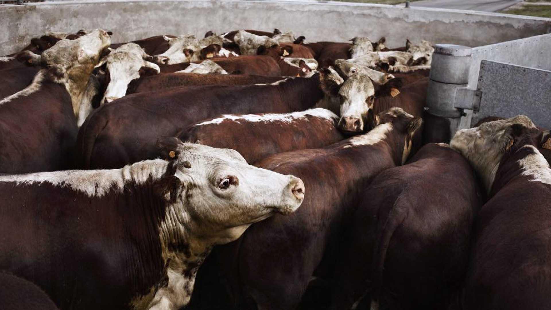 Perché aumentano gli animali macellati anche se mangiamo meno carne