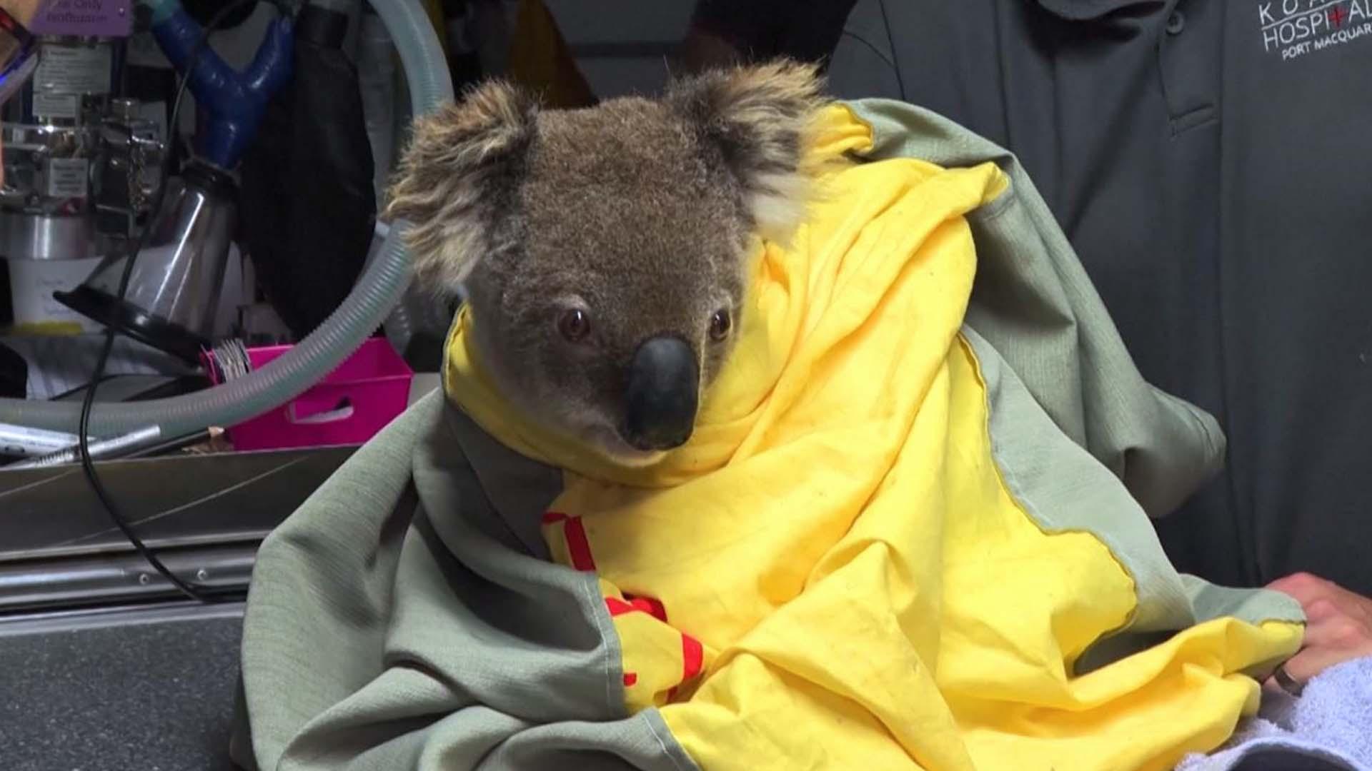 I koala e mezzo miliardo di animali sono vittime degli incendi in Australia