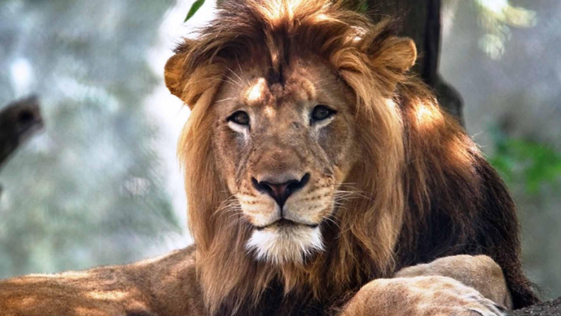 Un leone è stato recuperato dal clan dei Contini