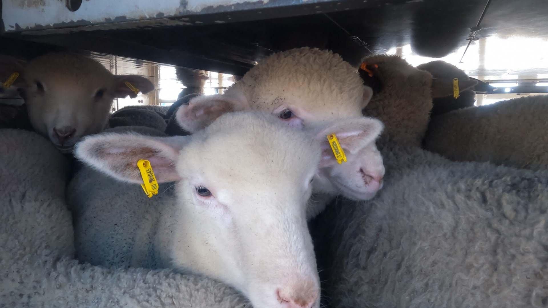 Il trasporto di agnelli in Italia - Foto di Essere Animali
