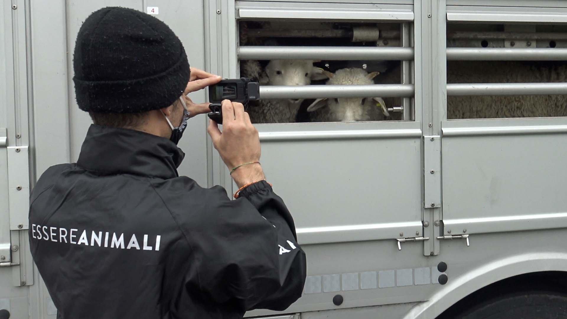 Un volontario davanti al camion che trasporta agnelli - Foto di Essere Animali